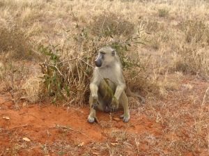 Papio_cynocephalus_sitting_in_Tsavo_East_National_Park
