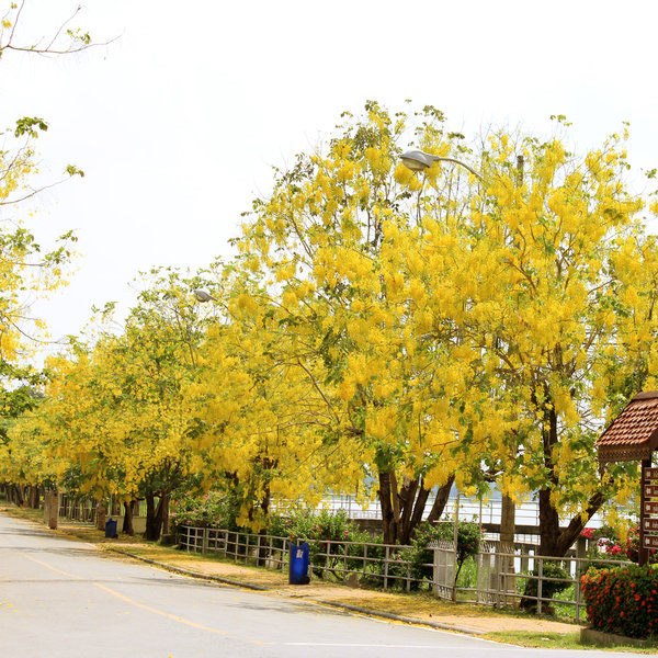 nurserylive-cassia-fistula-golden-shower-tree-bahava-plant.jpg
